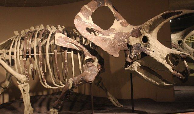 torosaurus_skeleton_589707